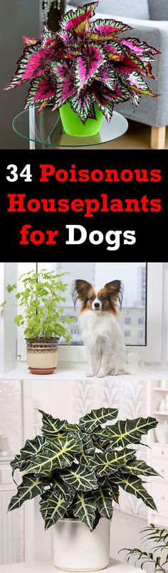 There are poisonous houseplants for dogs and cats. Some are mildly poisonous and some are fatal. It is better to know about them if you own a pet and here we've listed 34 plants toxic to dogs
