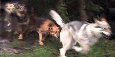 Wind-Hunde...