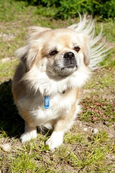 Photo Of Beccy Tibetan Spaniel Dog Facts Dog Quotes