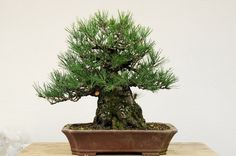 Developing Japanese Black Pine - dupuich