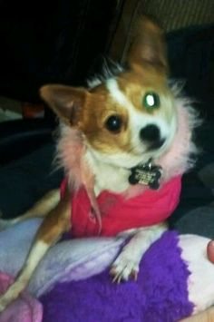 My sweet Chihuahua