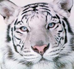 Tigerz <333