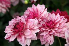 Buy decorative dahlia tuber Dahlia 'Creme de Cassis': Delivery by Crocus