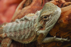 CLICK the beardie to see the 5 reasons why reptiles make great pets! #ReptileMegaMonth