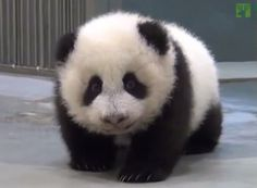 Baby Panda Doesn't Want to Go to Sleep