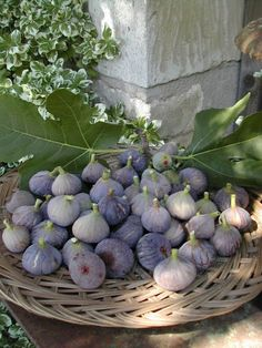fresh figs in provence Fresh Figs, Fresh Fruit, Fruit And Veg, Fruits And Vegetables, Exotic Fruit, French Countryside, Fig Tree, Fruit Trees, Fresco