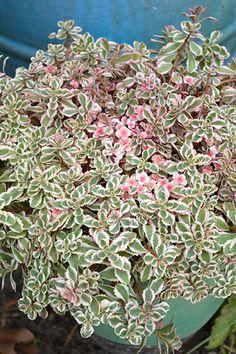 Sedum Rainbow Blob Drought Tolerant Plants, Garden Pots, Outdoor Spaces, Cactus, Rainbow, Purple, Green, Image, Chocolate