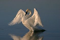Hence the name, Trumpeter Swan. The rarest of swans and the largest waterfowl species native to North America, ...