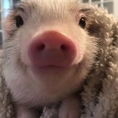 When you can't stay awake any longer. ️You can find Teacup pigs and more on our website.When you can't stay awake any longer. Cute Baby Pigs, Cute Piglets, Cute Babies, Baby Piglets, Cute Little Animals, Cute Funny Animals, Cute Dogs, Creepy Animals, Fluffy Cows