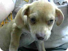 San Bernardino, CA - Pit Bull Terrier Mix. Meet URGENT 8/9 @ DEVORE, a puppy for adoption. http://www.adoptapet.com/pet/16337994-san-bernardino-california-pit-bull-terrier-mix