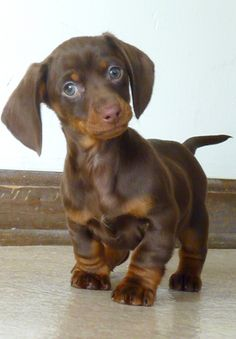 I Love this  I have a new member in my family named YODA  mini doxie with ears that stick straight up.... lol  so weird it is cute.