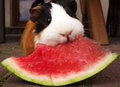 can guinea pigs eat watermelon?