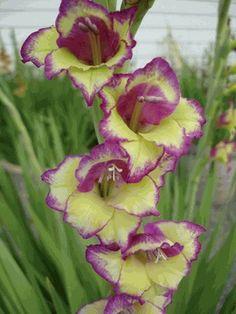 Gladiolus - 'Flevo Laguna'