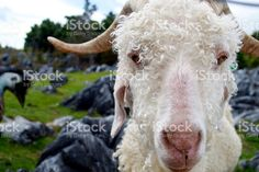A close-up of an Angora goat looking at Camera. Angora Goat, Agriculture Photos, Image Now, Goats, Royalty Free Stock Photos, Animals, Animales, Animaux, Animal