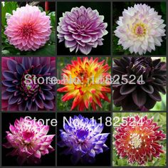 Free Shipping 100pcs Multi Colored Dahlia Seeds bonsai flower plant seeds-in Bonsai from Home & Garden on Aliexpress.com | Alibaba Group