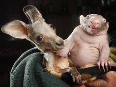 Cuddle buddies! Orphaned kangaroo and wombat become best friends (Rob Leeson / Newspix via Rex USA)
