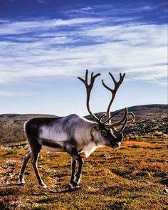 Reindeer at Pyhä-Luosto National Park, Finnish Lapland. Photo by Jasim Sarker @jaasiiim #filmlapland #arcticshooting #onlyinlapland