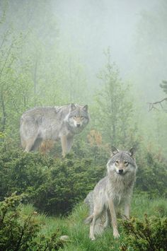 wolveswolves:  By Andy-Kim Moeller
