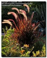 fountain grass red
