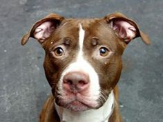 RIP.            Bastards          TO BE DESTROYED 1/8/14 Manhattan Center -P  My name is MANDY. My Animal ID # is A0988154. I am a female brown and white pit bull mix. The shelter thinks I am about 2 YEARS old.  I came in the shelter as a STRAY on 12/26/2013 from NY 10467, owner surrender reason stated was STRAY.  https://www.facebook.com/photo.php?fbid=733032863376262&set=a.611290788883804.1073741851.152876678058553&type=3&theater