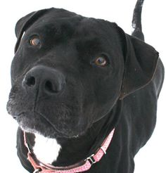 Stevie is a sleek beauty with a shiny black coat, and she can sit, paw, down, speak, and kiss-kiss-kiss! She is available for adoption through the Lakeland Animal Shelter in Elkhorn, Wisconsin.