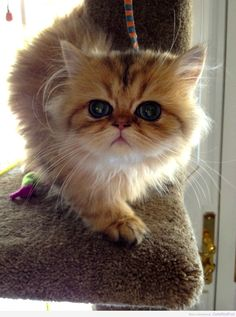 Here is a collection of 6 Persian cats that are guaranteed to make you ... - #persiancattbreeds -Tops Cat Breeds at Catsincare.com!