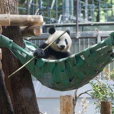 Panda Love, Cute Panda, Red Panda, Panda's Dream, Big Bear, Cute Animal Pictures, Disneyland Paris, Miraculous, Funny Cute