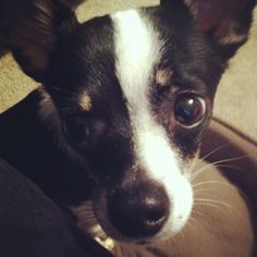 Chihuahua Rat Terrier mix.. looks just like our Lucy did:)