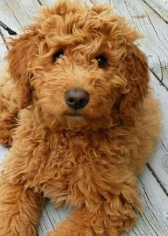 Get me this Golden Doodle NOW!