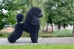 How to Tell if Your Poodle is Purebred: A Complete Guide – Poodle Report Best Dog Breeds, Best Dogs, Mixed Breed Puppies, Puppy Stages, Poodle Grooming, Kittens And Puppies, Corgi Puppies, Dog Grooming Business, Purebred Dogs