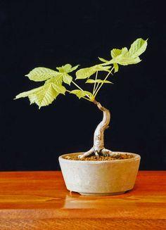 Horse Chestnut Bonsai Tree (Aesculus hippocastanum) by Steve Greaves
