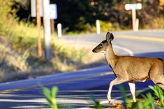 You've learned a little bit about the dangers of deer damage in our previous blog, Deer Damage 101. We gave you some advice about ways to avoid or reduce your risk of having a deer related collision including safely using high beams, traveling in the center lanes, and braking safely. Since it's officially fall again and that means deer are going to be on the move soon, we thought it would be a good time to delve into this topic a little further to give you more detailed information about…
