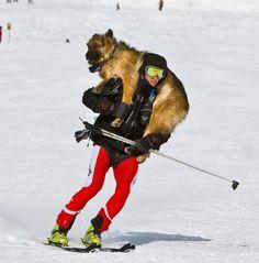 Dog skiing.
