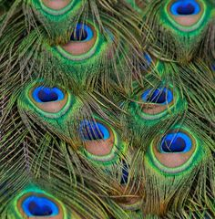 Peacock feathers. One of God's greatest works of Art in the Animal kingdom! :)