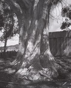 ANSEL ADAMS  1902 - 1984 Eucalyptus Tree, Fort Ross, California Date:	1969