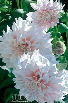 Brian Davis - Three Pink Dahlias - Search Gallery One for Floral limited edition prints, giclee canvases and original paintings by internationally-known artists Exotic Flowers, Pink Flowers, Beautiful Flowers, Cut Flowers, Simply Beautiful, White Dahlias, Zinnias, Chrysanthemums, Hydrangeas