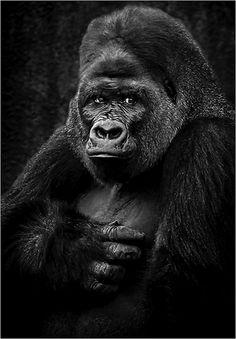 Animals in Sherbrooke, Canada (mr gorilla nature animals wildlife) - a photo by Dragan Milovanovic Nature Animals, Wild Animals, Animals And Pets, Types Of Monkeys, Dian Fossey, Silverback Gorilla, Animals Black And White, Wild Lion, Ape Monkey