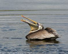 Brown Pelican by Steve Marquez on 500px