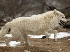 White Fur, Husky, Wolf, Animals, Animales, Animaux, Wolves, Animal, Animais