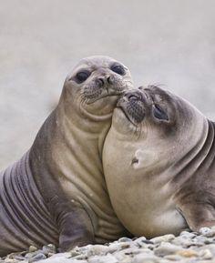 Тюленьи нежности