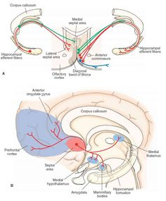 left hemisphere of the brain and limbic system | projections from the hippocampal formation to the septal area (left ...