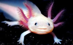 The critically endangered Axolotl (Ambystoma mexicanum) salamander is found living in Lake Xochimilco in central Mexico. Their pink skin, large head and apparent smile give them a disconcerting human appearance.