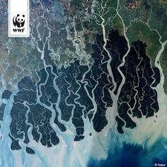 Das ist ein Satellitenbild der Sundarbans - den weltweit größten Mangrovenwäldern. Hier leben Tiger und seltene Irawadi Delfine. Nun sind dort nach einem Tankerunfall 350 Tonnen Öl ausgelaufen  Drücken wir die Daumen, dass der Schaden in dem empfindlichen Gebiet möglichst gering bleibt! ►►►www.wwf.de/bild-des-tages