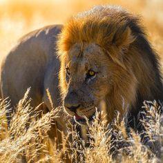 "National Geographic Travel (@natgeotravel) on Instagram: ""Photo @ladzinski / The king, patrolling his territory at sunrise in the scorching #Kalahari desert.…"""