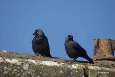 Corvus monedula Linnaeus, 1758 - Choucas des tours - Présentation