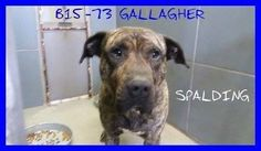 Spalding County Animal Shelter Griffin, GA   ·  B15-73 GALLAGHER MASTIFF MIX MALE LAST DAY MARCH 23