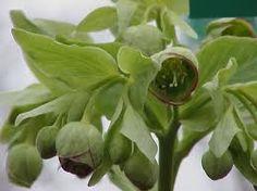 Image result for helleborus foetidus