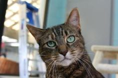 Corrine is an adoptable Domestic Short Hair Cat in Forked River, NJ.  Corrine- 5-6 years old. She is very playful and affectionate. Can be good with other cats but we do not recommend dominant cats be...