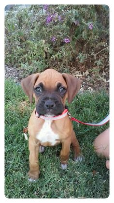 My boxer baby laila at 8 weeks
