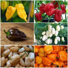 101 Gardening: Color Blend Habanero Pepper Seeds #Organic_Gardening